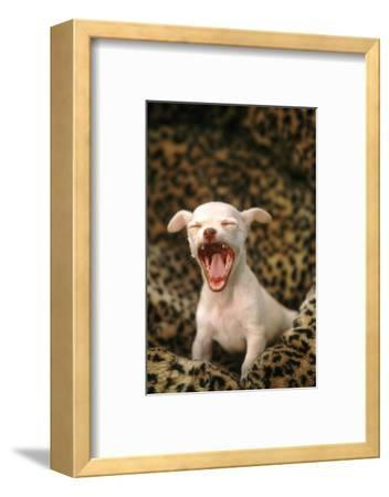 Sleepy Chihuahua Puppy-DLILLC-Framed Photographic Print