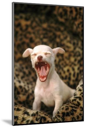 Sleepy Chihuahua Puppy-DLILLC-Mounted Photographic Print