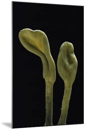 Microglossum Viride (Green Earth Tongue)-Paul Starosta-Mounted Photographic Print