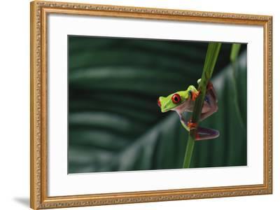 Red-Eyed Tree Frog-DLILLC-Framed Photographic Print