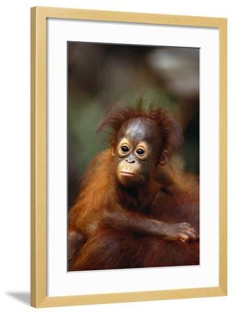 Baby Orangutan Clinging to Mother's Back-DLILLC-Framed Photographic Print