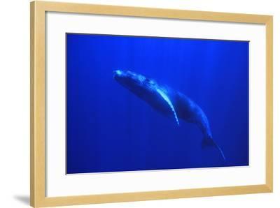 Humpback Whale Swimming Underwater-DLILLC-Framed Photographic Print