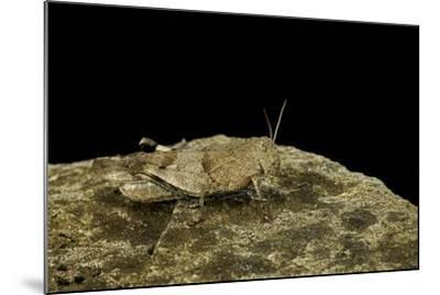 Oedipoda Caerulescens (Blue-Winged Grasshopper)-Paul Starosta-Mounted Photographic Print