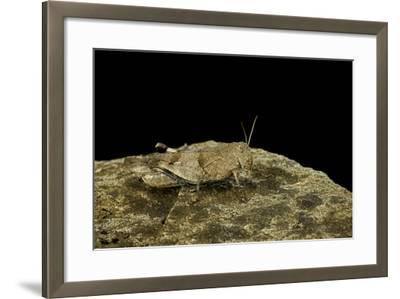 Oedipoda Caerulescens (Blue-Winged Grasshopper)-Paul Starosta-Framed Photographic Print