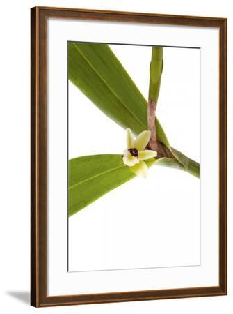 Scaphyglottis Prolifera.Petal-Fabio Petroni-Framed Photographic Print
