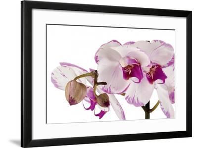 Phalaenopsis Shih Hua Smile2-Fabio Petroni-Framed Photographic Print