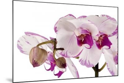 Phalaenopsis Shih Hua Smile2-Fabio Petroni-Mounted Photographic Print