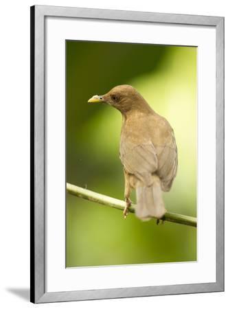 Clay-Colored Robin-Mary Ann McDonald-Framed Photographic Print