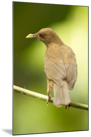 Clay-Colored Robin-Mary Ann McDonald-Mounted Photographic Print
