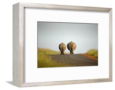 White Rhinos Walking on Road, Rietvlei Nature Reserve-Richard Du Toit-Framed Photographic Print