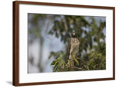 Roadside Hawk-Joe McDonald-Framed Photographic Print