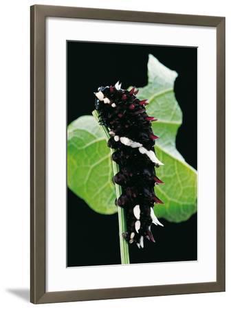 Parides Iphidamas (Iphidamas Cattleheart, Transandean Cattleheart) - Caterpillar-Paul Starosta-Framed Photographic Print