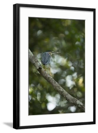Striated Heron-Joe McDonald-Framed Photographic Print
