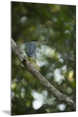 Striated Heron-Joe McDonald-Mounted Photographic Print