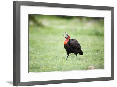 A Ground Hornbill Eats a Frog-Richard Du Toit-Framed Photographic Print