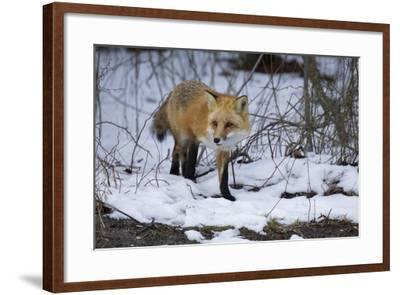 Red Fox-Joe McDonald-Framed Photographic Print
