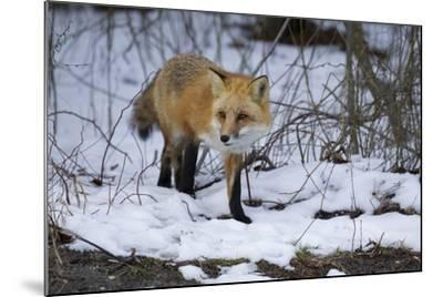 Red Fox-Joe McDonald-Mounted Photographic Print