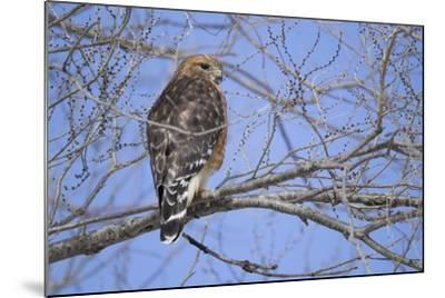 Red-Shouldered Hawk-Joe McDonald-Mounted Photographic Print