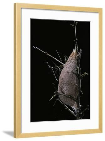 Rothschildia Jacobaeae (Silkmoth, Saturniid Moth) - Cocoon-Paul Starosta-Framed Photographic Print