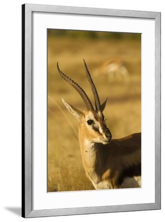 Thompson's Gazelle-Joe McDonald-Framed Photographic Print