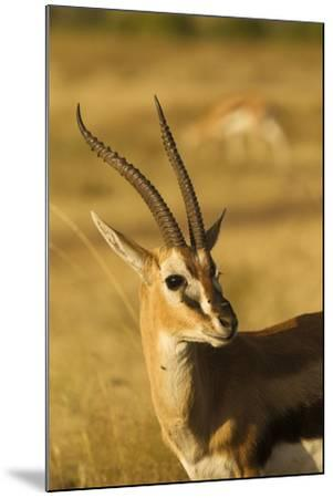 Thompson's Gazelle-Joe McDonald-Mounted Photographic Print