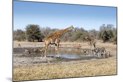 Giraffe and Zebra at Waterhole-Richard Du Toit-Mounted Photographic Print