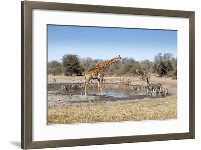 Giraffe and Zebra at Waterhole-Richard Du Toit-Framed Photographic Print
