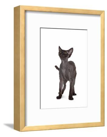 Devon Rex Cat-Fabio Petroni-Framed Photographic Print