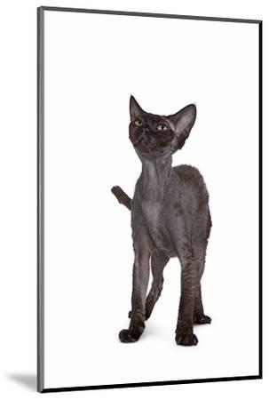 Devon Rex Cat-Fabio Petroni-Mounted Photographic Print