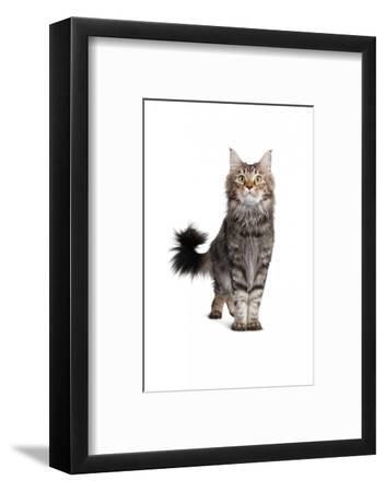 Maine Coon Cat-Fabio Petroni-Framed Photographic Print