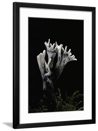 Xylaria Hypoxylon (Stag's Horn Fungus, Candlestick Fungus, Candlesnuff Fungus, Carbon Antlers)-Paul Starosta-Framed Photographic Print
