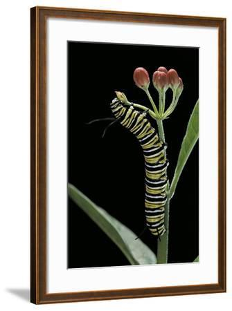 Danaus Plexippus (Monarch Butterfly) - Caterpillar Feeding on Milkweed Flower-Paul Starosta-Framed Photographic Print