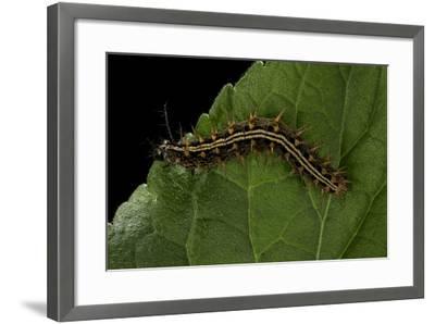 Argynnis Paphia (Silver-Washed Fritillary) - Caterpillar-Paul Starosta-Framed Photographic Print
