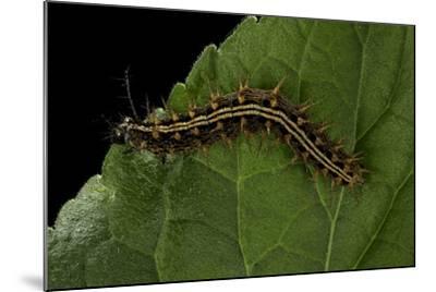 Argynnis Paphia (Silver-Washed Fritillary) - Caterpillar-Paul Starosta-Mounted Photographic Print