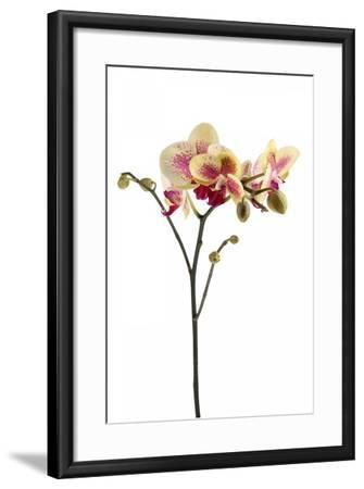 Phalaenopsis Ibrid1-Fabio Petroni-Framed Photographic Print