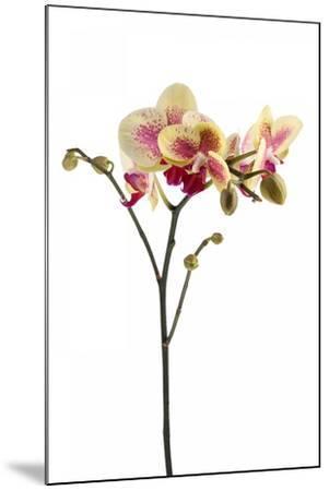 Phalaenopsis Ibrid1-Fabio Petroni-Mounted Photographic Print