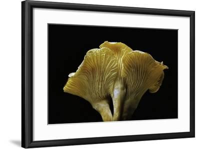 Cantharellus Cibarius (Chanterelle, Egg Mushroom)-Paul Starosta-Framed Photographic Print