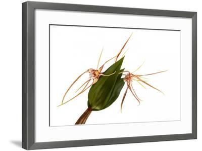 Dendrobium Tetragonum-Fabio Petroni-Framed Photographic Print