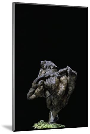 Gyromitra Infula (Hooded False Morel, Elfin Saddle)-Paul Starosta-Mounted Photographic Print