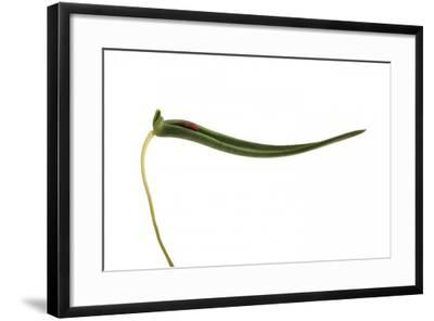 Pleurothallis Dilemma 4-Fabio Petroni-Framed Photographic Print