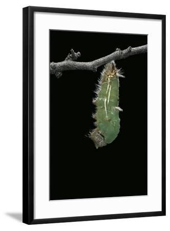 Morpho Peleides (Blue Morpho) - Caterpillar Pupating-Paul Starosta-Framed Photographic Print