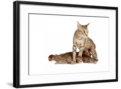 Ocicat-Fabio Petroni-Framed Photographic Print