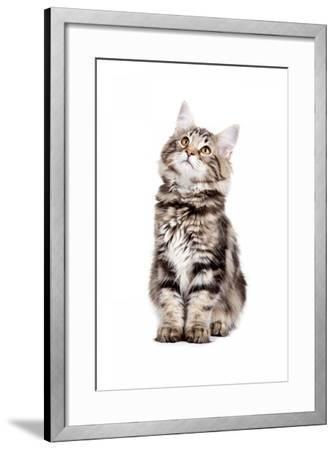 Norwegian Forest Cat-Fabio Petroni-Framed Photographic Print