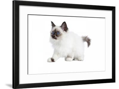 Sacred Cat of Burma-Fabio Petroni-Framed Photographic Print