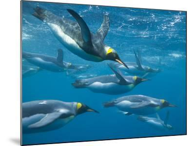 King Penguins Swimming Underwater-DLILLC-Mounted Photographic Print