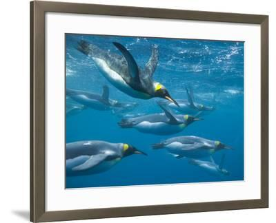 King Penguins Swimming Underwater-DLILLC-Framed Photographic Print