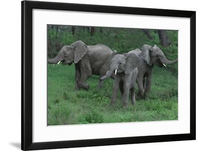 Young Elephants in Field during Standoff-DLILLC-Framed Photographic Print