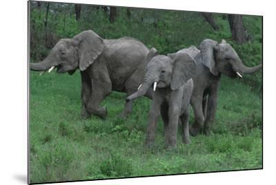 Young Elephants in Field during Standoff-DLILLC-Mounted Photographic Print