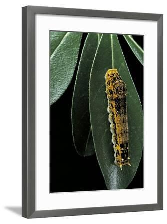 Papilio Epiphorbas (Tearful Swallowtail) - Caterpillar-Paul Starosta-Framed Photographic Print