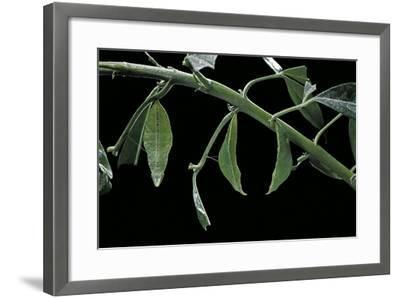 Papilio Dardanus Meriones (African Swallowtail, Mocker Swallowtail Butterfly) - Pupae-Paul Starosta-Framed Photographic Print